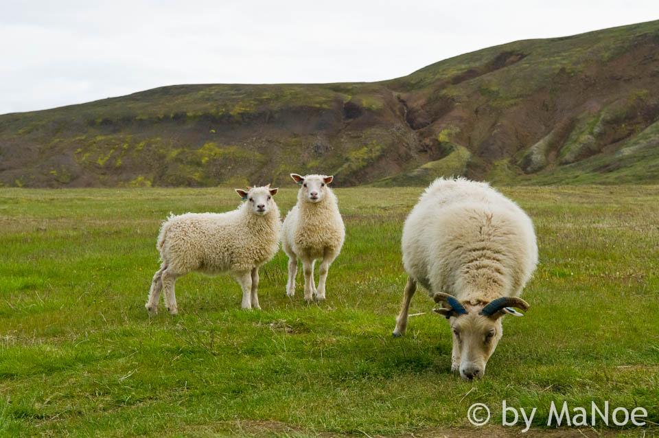 Schaafe.... Wie überall auf Island.
